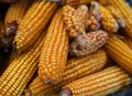 Many of dries yellow corn cobs Royalty Free Stock Photo