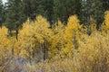 Many Fall Aspens in Grove Stock Photo