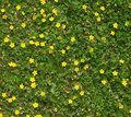 Many field flowers closeup yellow in green grass as background Stock Images