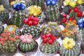 Many flowering cactus Royalty Free Stock Photography