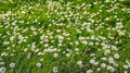Many flowering daisies between the grass Royalty Free Stock Photo