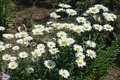 Many flowers of daisies in the garden Royalty Free Stock Photo