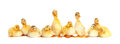 Many fluffy baby ducklings Royalty Free Stock Photo