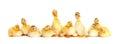 Many fluffy baby ducklings Royalty Free Stock Photo
