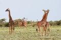 Many giraffes grazing in the African bush, Serengeti Reserve, Ta