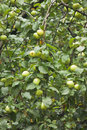 Many green apples on apple tree branch grow with leaves under sunlight close up view Royalty Free Stock Image