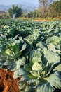 Many green cabbages in the agriculture fields Stock Photography