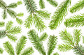 Many green fir branches before white background isolated Royalty Free Stock Photo