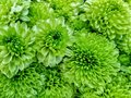 Many green gerbera daisy are blooming in the flowers shop Royalty Free Stock Photo
