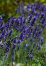 Purple lavender flowers in bloom at summer Royalty Free Stock Photo