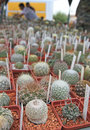 Many little cactuses Royalty Free Stock Photos
