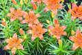 Many orange lilies, daylilies in the garden. Royalty Free Stock Photo