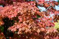Many Orange And Red Leaves Of Maple Tree Colored During The Cold Autumn Days In A Botanical Garden, Beautiful Outdoor Background
