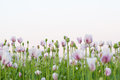 Many pink poppy flowers and the sky Royalty Free Stock Photos