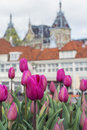 Many pink tulips with old european buildings as background Royalty Free Stock Photo