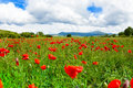 Many Poppies Flowers In Italy