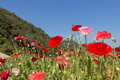Many poppy on green field mountain background at chiang mai thailand Royalty Free Stock Photos