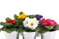 Many Primrose potted plants Stock Photo