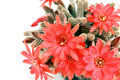 Many red cactus flowers over white Royalty Free Stock Photo