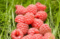 Many red raspberry Stock Photography