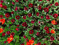 Many red tulips on flower bed Stock Photos