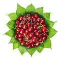 Many red wet cherry fruits on green leaves Stock Photography