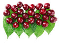 Many red wet cherry fruits on green leaves Royalty Free Stock Photography
