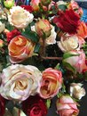 Many red white pink roses in the garden Royalty Free Stock Photo