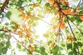 Many ripe orange apricots on tree with sunshine between leaves Royalty Free Stock Photo