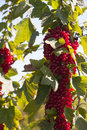 Many ripe red currants on the bush just before harvest Stock Image