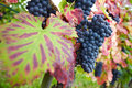 Many ripe red vine grapes Royalty Free Stock Photos