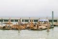 Many sea lions on Pier 39 in San Francisco, California, USA Royalty Free Stock Photo