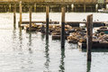Many Sea lions sunbathe on pier 39 in San Francisco USA Royalty Free Stock Photo