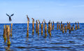 Many seagulls are sitting on stakes in the baltic sea near kolka latvia by shining blue sky Royalty Free Stock Photo