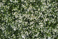 Many small white flower on green background Royalty Free Stock Photo
