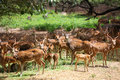 Many spotted deer in wild life sanctuary Royalty Free Stock Image