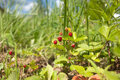 Many tasty raspberries grows closeup landscape with ripe strawberry in green grass Royalty Free Stock Image