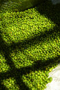 Many thai green pepper in light and shadow Stock Image