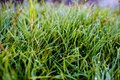 Many tiny dew drops on grass blades in the summer morning Royalty Free Stock Photo