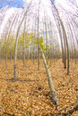 Many trees on a farm with one then is bent over Royalty Free Stock Photo