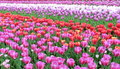 Many tulip flowers horizontal red and yellow and blue Royalty Free Stock Photography