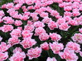 Many tulip flowers horizontal white and pink color Stock Images