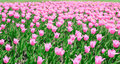 Many tulips Stock Photography