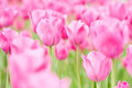 Many tulips in spring in field pink blooming a Stock Photo