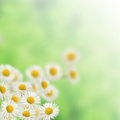 Many White daisies Royalty Free Stock Photo