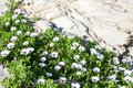 Many white daisies flowers with green leaves grow near the stone rock