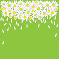 Many white daisies on green background Royalty Free Stock Photo