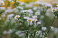 Many white daisies in a green garden Royalty Free Stock Photo