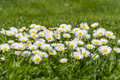Many white daisies on a meadow. Bellis perennis - Group of daisies on springtime. Royalty Free Stock Photo