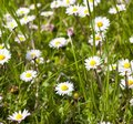 Many white daisies Royalty Free Stock Photo